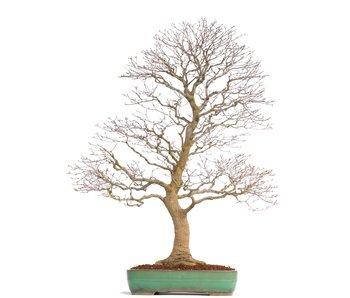 Acer palmatum, 93 cm, ± 35 jaar oud