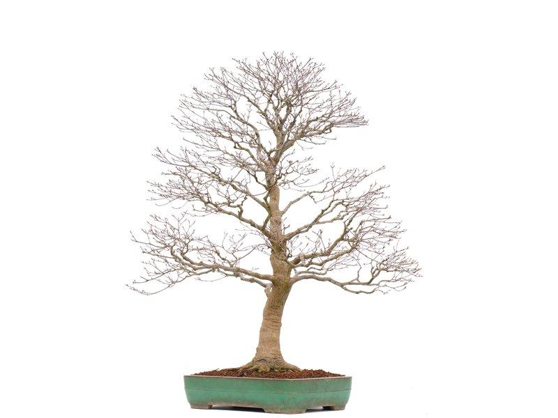 Acer palmatum, 93 cm, ± 35 jaar oud, in een handgemaakte Japanse pot van Yamafusa met een nebari van 21 cm