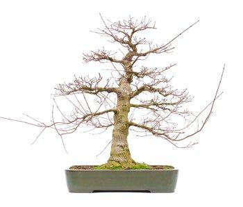Acer palmatum, 71 cm, ± 45 jaar oud
