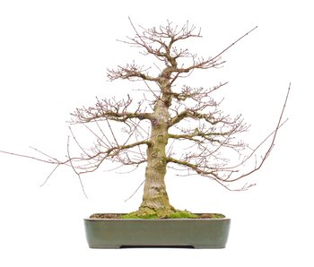 Acer palmatum, 71 cm, ± 45 years old