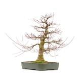 Acer palmatum, 71 cm, ± 45 jaar oud, in een handgemaakte Japanse pot van Reiho met een nebari van 21,5 cm