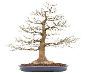 Acer palmatum, 72 cm, ± 50 jaar oud