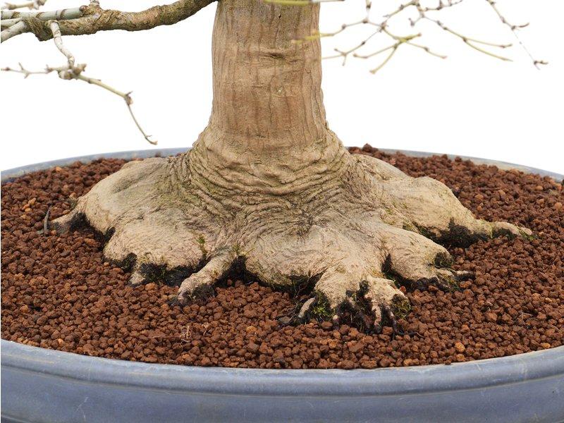 Acer palmatum, 72 cm, ± 50 jaar oud, in een handgemaakte Japanse pot van Reiho met een nebari van 27 cm