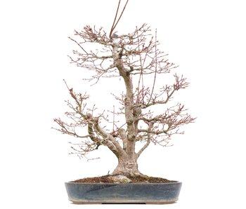 Acer palmatum, 55 cm, ± 35 jaar oud