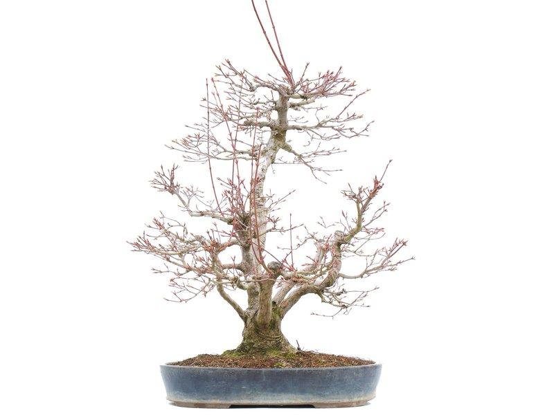 Acer palmatum, 55 cm, ± 35 jaar oud, met een nebari van 15 cm
