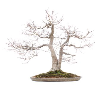 Acer palmatum, 71 cm, ± 35 years old