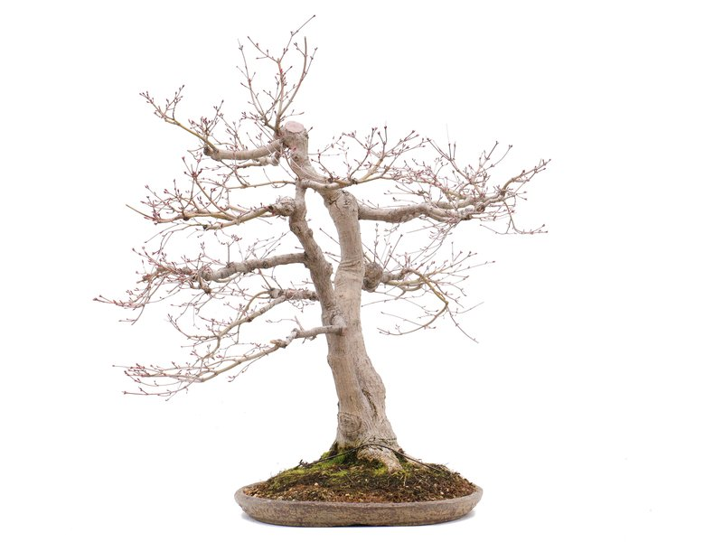 Acer palmatum, 71 cm, ± 35 jaar oud, in een handgemaakte Japanse pot