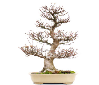 Acer palmatum, 65,5 cm, ± 40 jaar oud