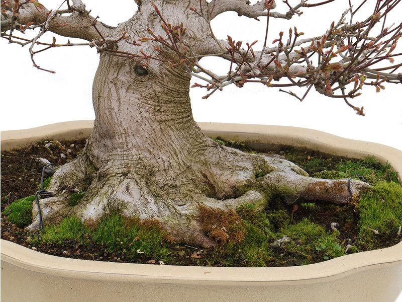 Acer palmatum, 65,5 cm, ± 40 jaar oud, met een nebari van 21 cm