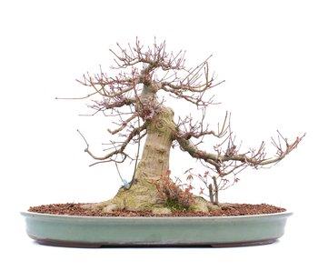 Acer palmatum, 36,5 cm, ± 45 jaar oud