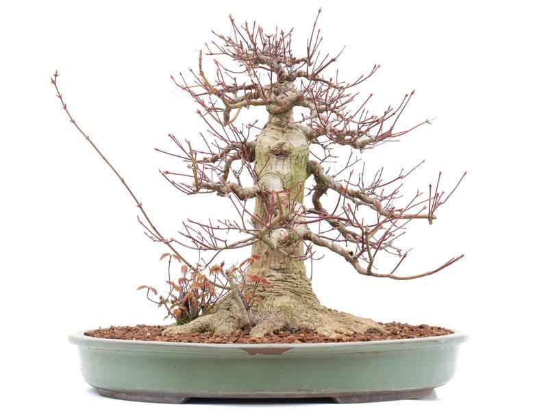 Acer palmatum, 36,5 cm, ± 45 jaar oud, in een Japanse pot met een nebari van 23 cm