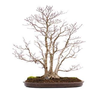 Acer palmatum, 66 cm, ± 35 jaar oud