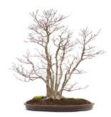 Acer palmatum, 66 cm, ± 35 jaar oud, met een nebari van 16 cm