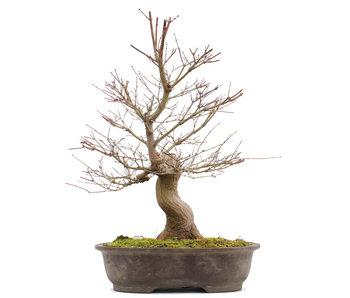 Acer palmatum, 58 cm, ± 25 years old