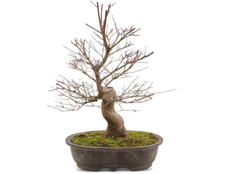 Acer palmatum, 58 cm, ± 25 jaar oud
