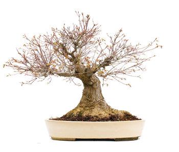 Acer palmatum, 50 cm, ± 50 jaar oud