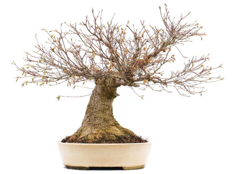 Acer palmatum, 50 cm, ± 50 jaar oud, in een Japanse handgemaakte pot bu Taizan met een nebari van 31 cm