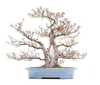 Acer palmatum, 57 cm, ± 45 jaar oud