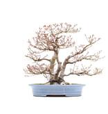 Acer palmatum, 57 cm, ± 45 jaar oud, met een nebari van 26,5 cm