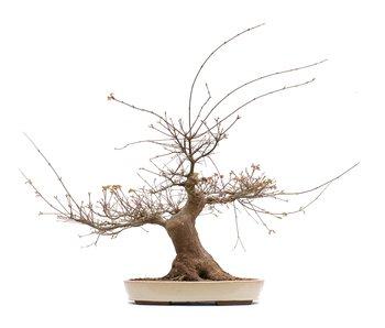 Acer palmatum, 55 cm, ± 30 jaar oud