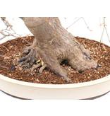 Acer palmatum, 55 cm, ± 30 jaar oud, in een handgemaakte Japanse pot van Taizan met een barst, met een nebari van 21 cm