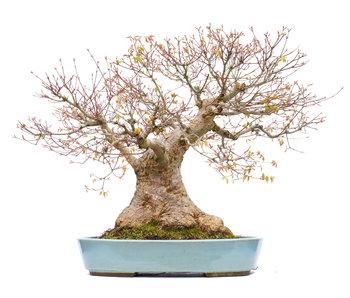 Acer palmatum, 56 cm, ± 50 jaar oud