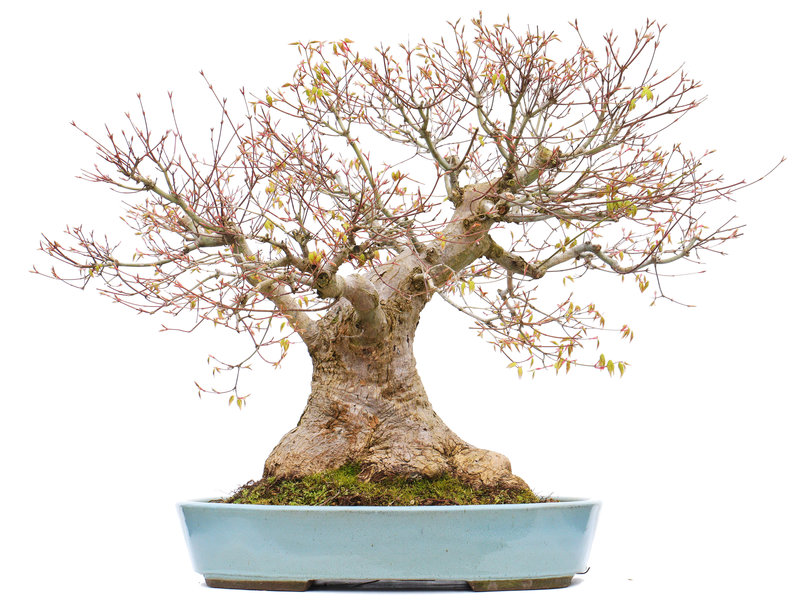 Acer palmatum, 56 cm, ± 50 jaar oud, in een handgemaakte Japanse pot van Taizan met een nebari van 27 cm