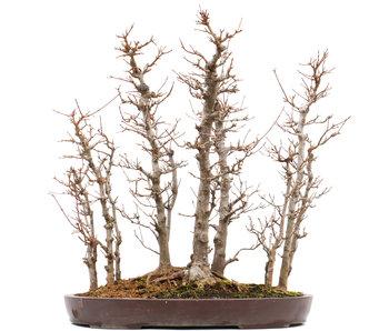 Acer buergerianum, 55,5 cm, ± 20 jaar oud