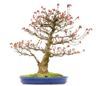 Acer buergerianum, 57,5 cm, ± 20 jaar oud
