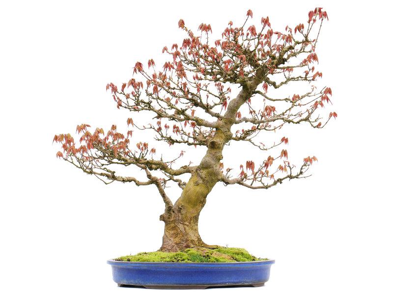 Acer buergerianum, 57,5 cm, ± 20 jaar oud, met een nebari van 22 cm