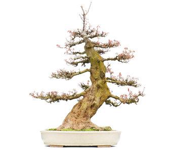 Acer buergerianum, 73 cm, ± 35 jaar oud