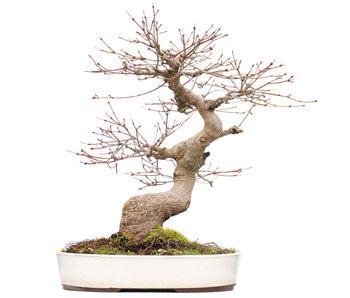 Acer palmatum, 39 cm, ± 25 jaar oud