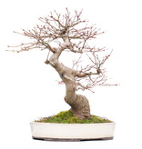 Acer palmatum, 39 cm, ± 25 years old, with a nebari of 11,5 cm