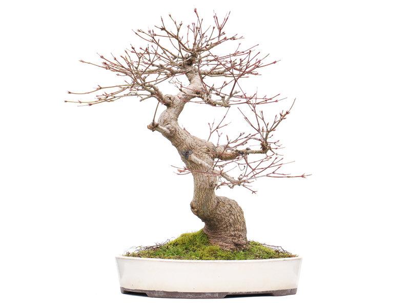 Acer palmatum, 39 cm, ± 25 jaar oud, met een nebari van 11,5 cm