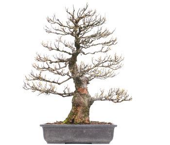 Acer buergerianum, 71 cm, ± 40 años