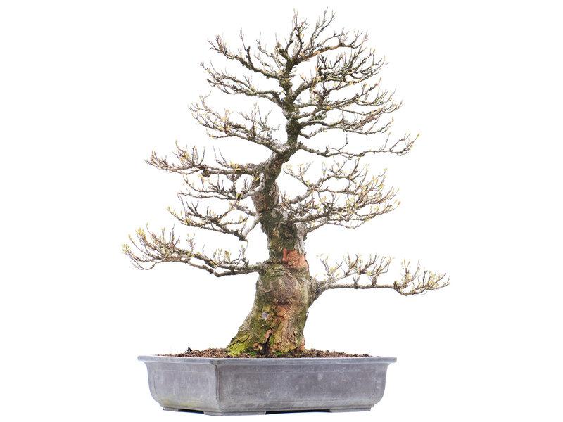 Acer buergerianum, 71 cm, ± 40 jaar oud