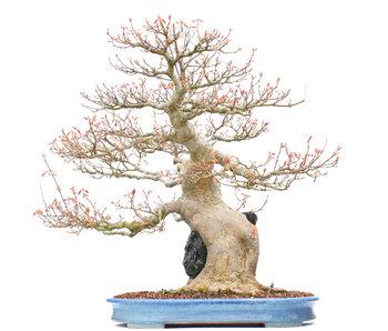 Acer buergerianum, 59 cm, ± 40 jaar oud