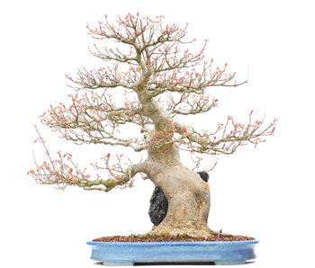 Acer buergerianum, 59 cm, ± 40 years old