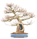 Acer buergerianum, 59 cm, ± 40 years old, in a handmade Japanese pot made by Yamafusa with a nebari of 20 cm