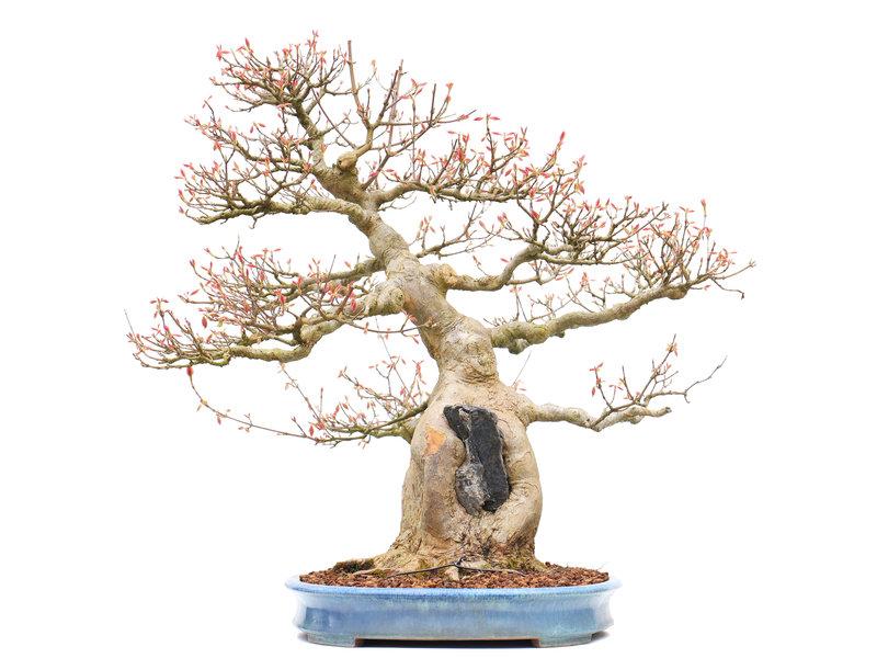 Acer buergerianum, 59 cm, ± 40 jaar oud, in een handgemaakte Japanse pot gemaakt door Yamafusa met een nebari van 20 cm