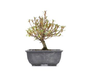Rhododendron indicum, 16,5 cm, ± 6 años