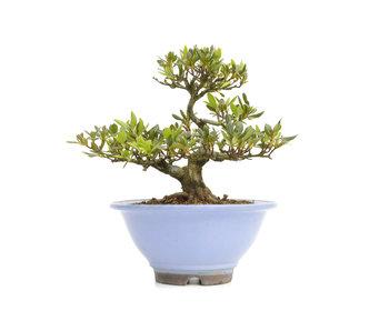 Rhododendron indicum Koyo, 21,5 cm, ± 20 Jahre alt