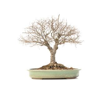 Zelkova serrata Keyaki, 36,5 cm, ± 30 Jahre alt