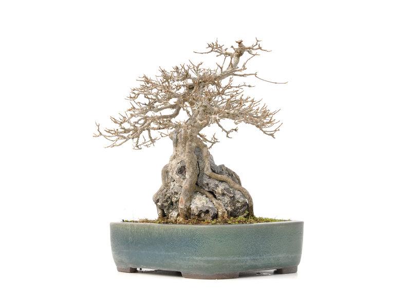 Acer buergerianum, 32,5 cm, ± 40 jaar oud, in een handgemaakte Japanse pot van Yamaaki