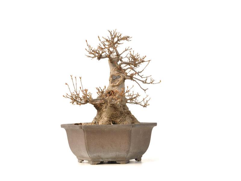 Acer buergerianum, 31,5 cm, ± 30 jaar oud
