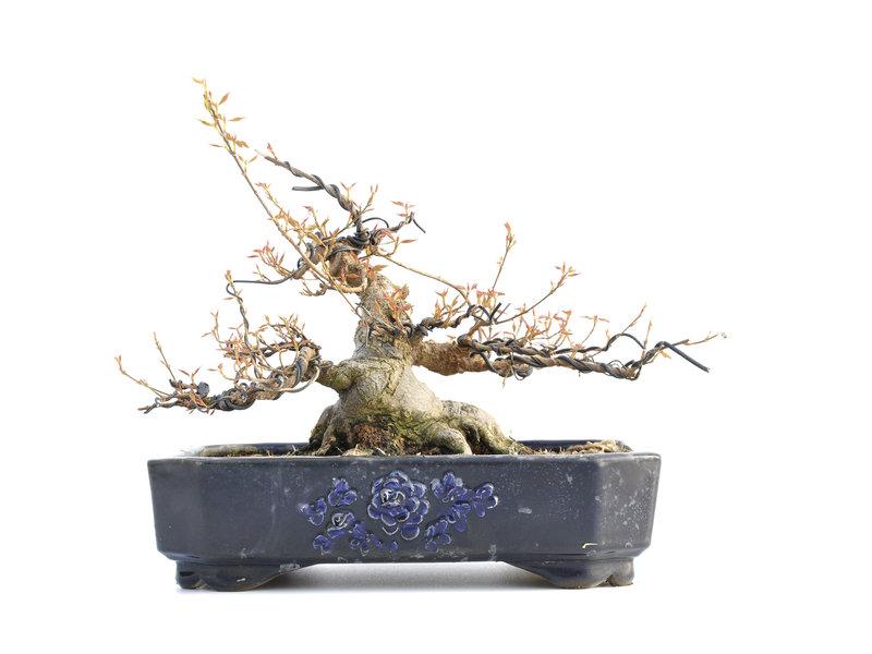 Acer buergerianum, 25 cm, ± 35 jaar oud, met een nebari van 22,5 cm en in een handgemaakte Japanse pot van Yamaaki