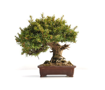 Taxus cuspidata Yamadori, 30,5 cm, ± 45 jaar oud