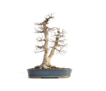 Acer palmatum, 49 cm, ± 40 years old