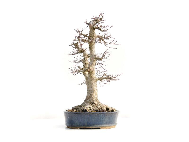 Acer palmatum, 49 cm, ± 40 jaar oud, met een nebari van 22 cm