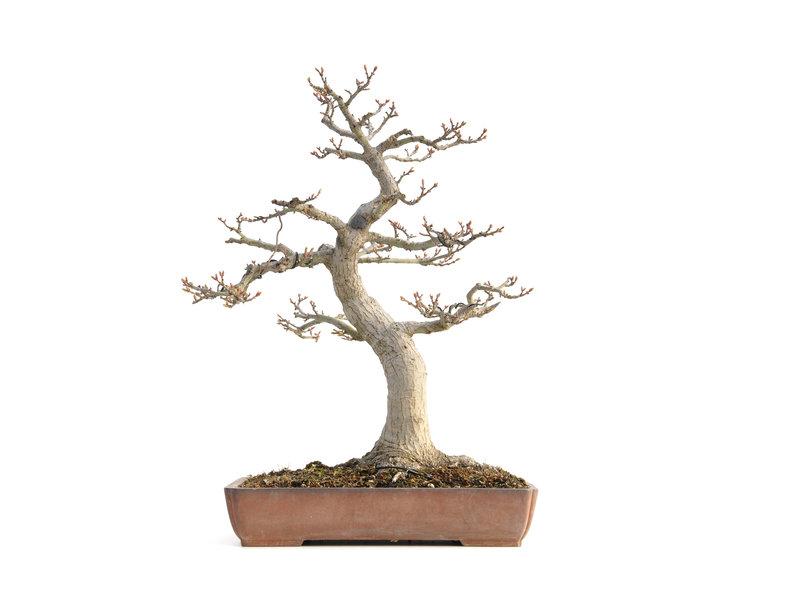 Acer palmatum Shishi-gashira, 42 cm, ± 40 jaar oud, met een nebari van 15,5 cm